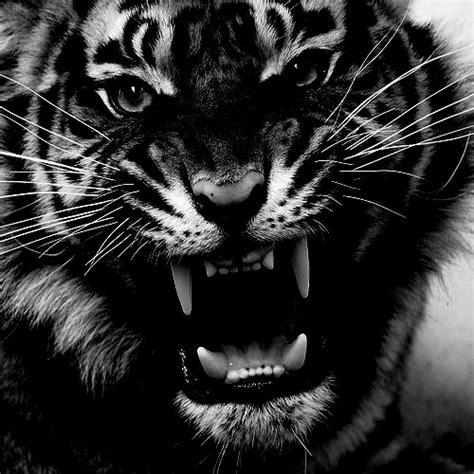 D tigre nera